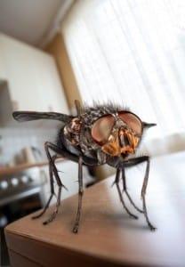 des bestioles dans votre cuisine le cas des mouches dans la cuisine. Black Bedroom Furniture Sets. Home Design Ideas