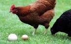 Les oeufs de mes poules peuvent être utilisé en restauration