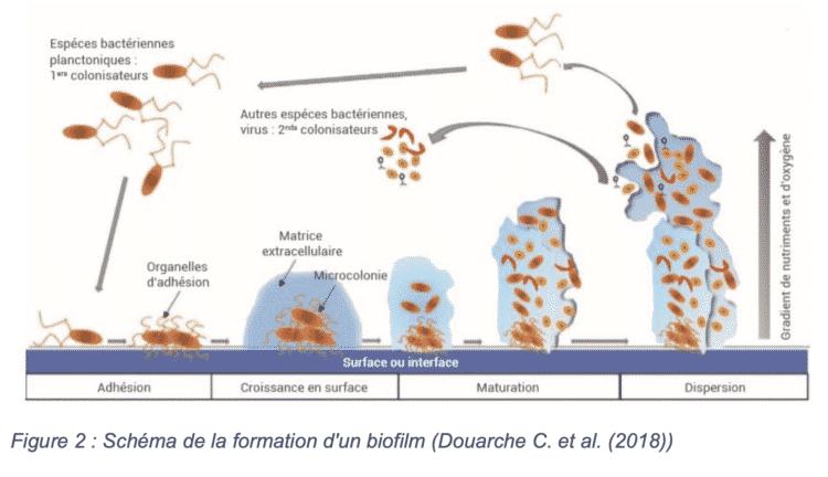 Biofilm qui se forme sur le revêtement du sol